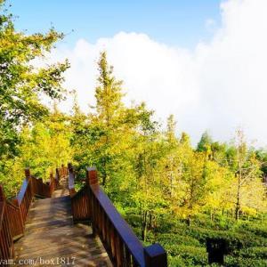 【南投。鹿谷】銀杏黃了。大崙山銀杏林步道。觀光茶園 - 輕旅行